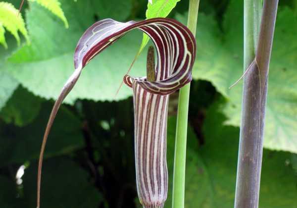 """Arisema ciliatum, un """"serpent végétal"""""""