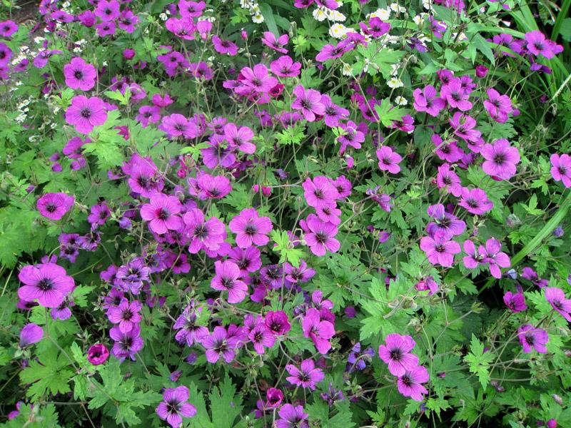 G ranium vivaces - Pourpier vivace en jardiniere ...