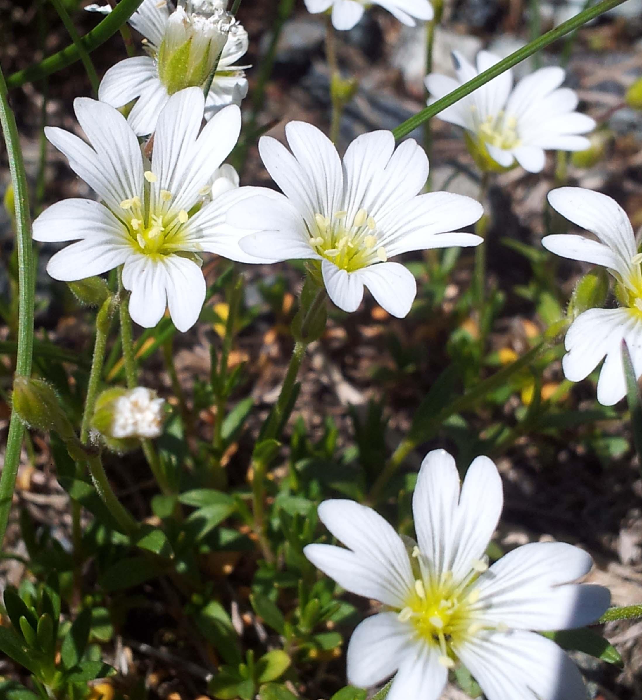 Fleurs sauvages des alpes blog promesse de fleurs for Promesse de fleurs