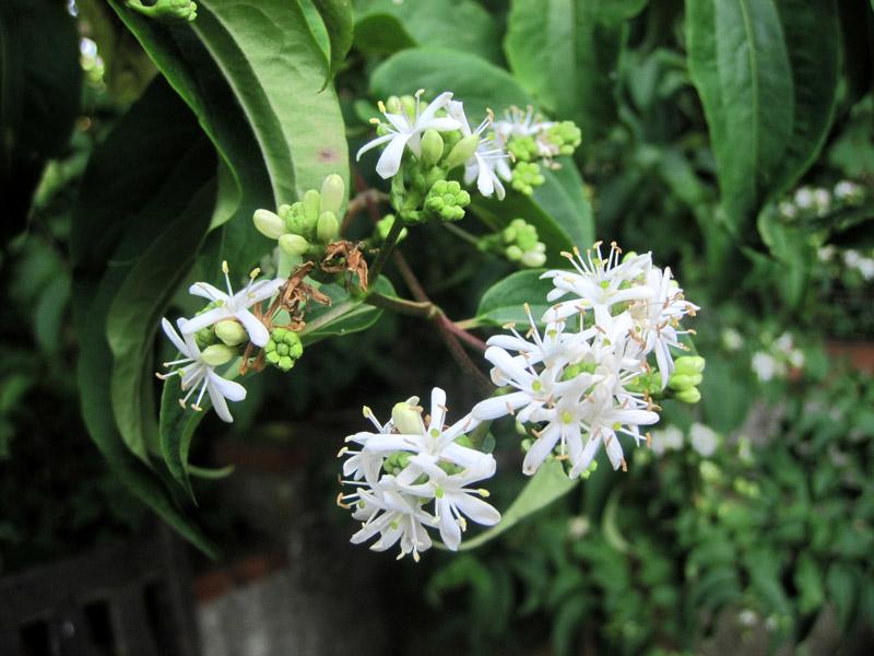 Heptacodium miconioides, un chinois peu connu qui se fait un nom!