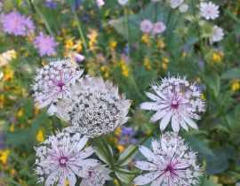 Fleurs sauvages des Alpes en album de vacances...