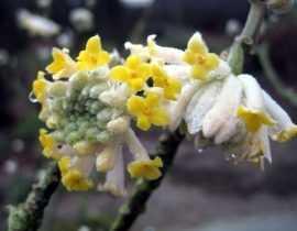 Une floraison magnifique, un parfum envoûtant, découvrez l'Edgeworthia chrysantha