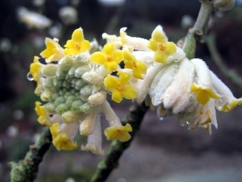l 39 edworthia chrysantha ou arbre papier un petit arbuste d couvrir blog promesse de fleurs. Black Bedroom Furniture Sets. Home Design Ideas