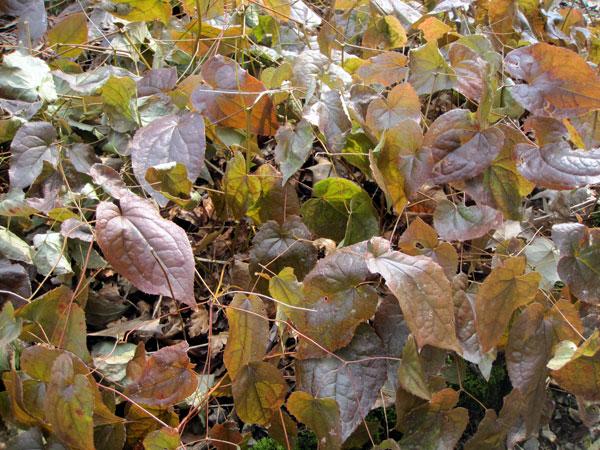 Faut il couper les vieilles feuilles des epimedium - Faut il couper les fleurs fanees des hortensias ...