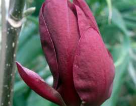 Magnolia Genie, une nouvelle obtention.