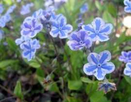 Camaïeu de fleurs bleues de printemps.