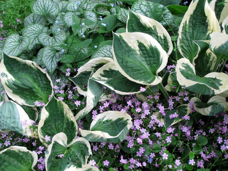 Quand planter hostas - Quand planter les geraniums ...