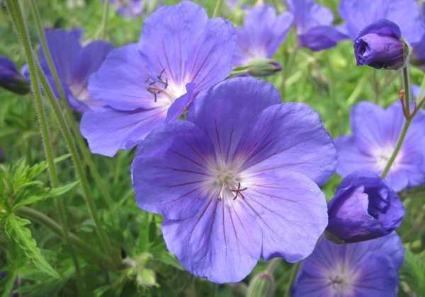 Les plus beaux géraniums bleus