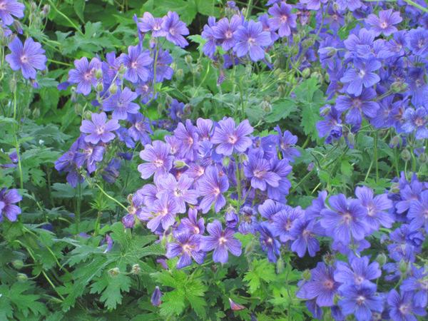 les plus beaux g raniums vivaces fleurs bleues blog promesse de fleurs. Black Bedroom Furniture Sets. Home Design Ideas