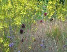 L'Allium sphaerocephalon, un ail d'ornement d'une magnifique discrétion.