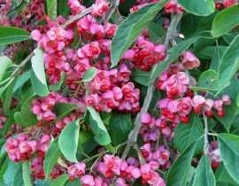 Les meilleurs arbustes d'ornement à fruits décoratifs