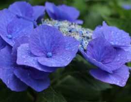 Planter les Hortensias