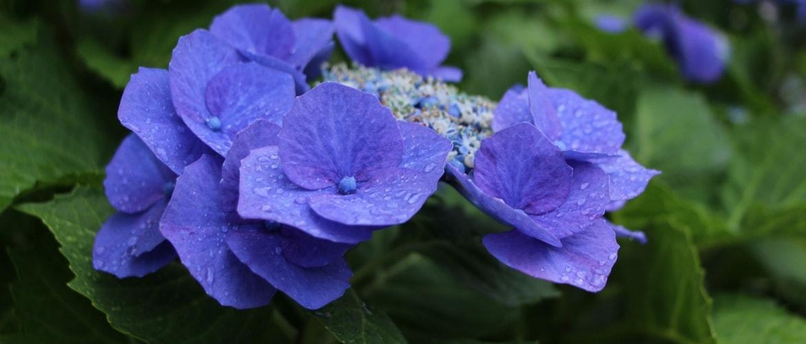Planter les hortensias blog promesse de fleurs for Conseil plantation jardin