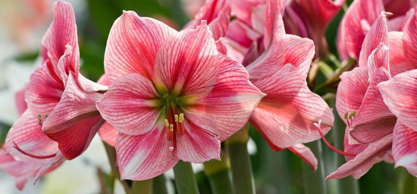 Amaryllis bien entretenir faire fleurir et refleurir for Amaryllis fleurs