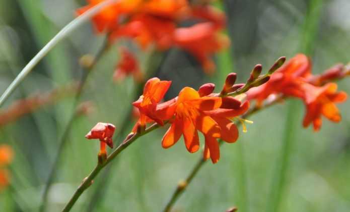 Planter les bulbes rustiques à floraison estivale
