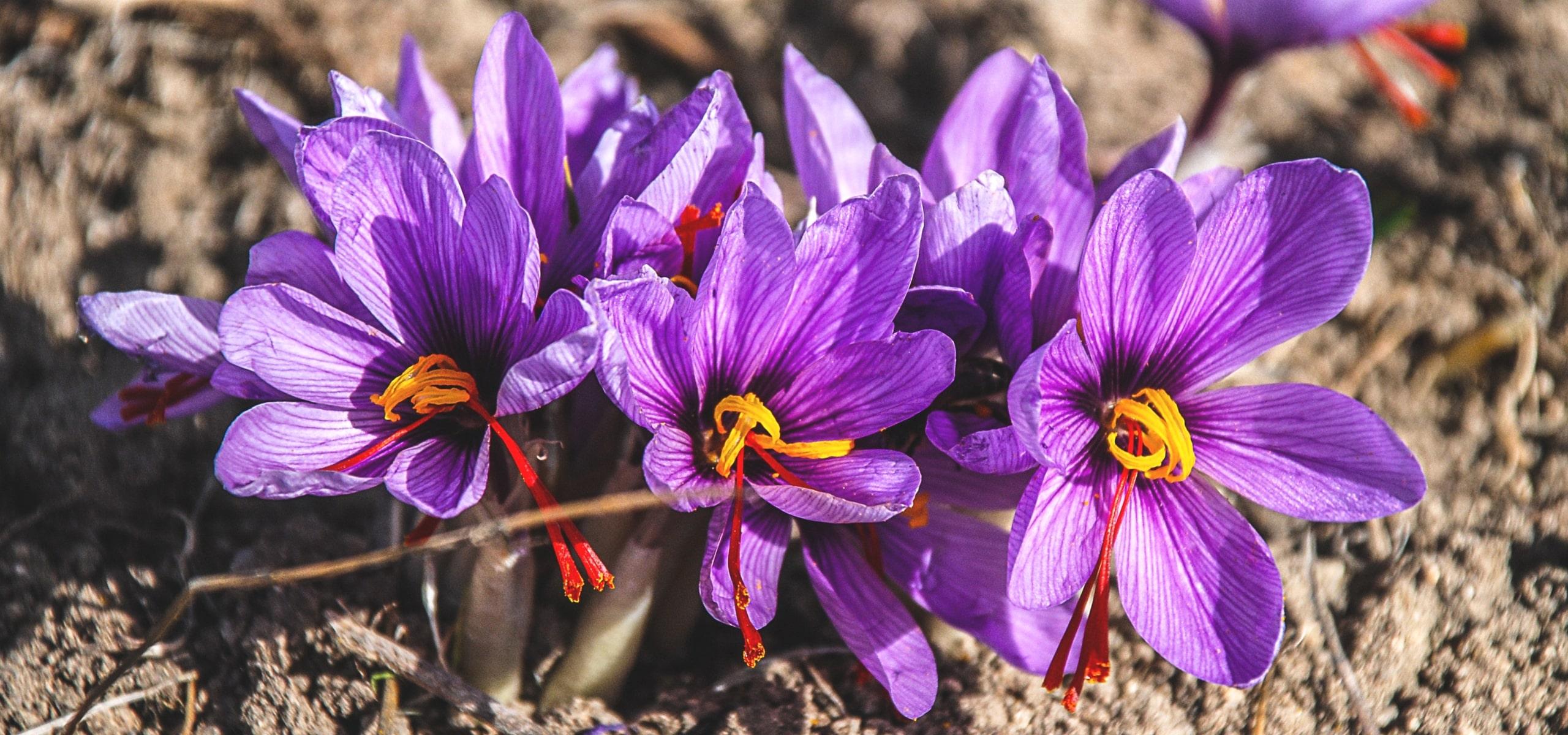 crocus safran ou crocus sativus planter cultiver et r colter votre safran promesse de fleurs. Black Bedroom Furniture Sets. Home Design Ideas