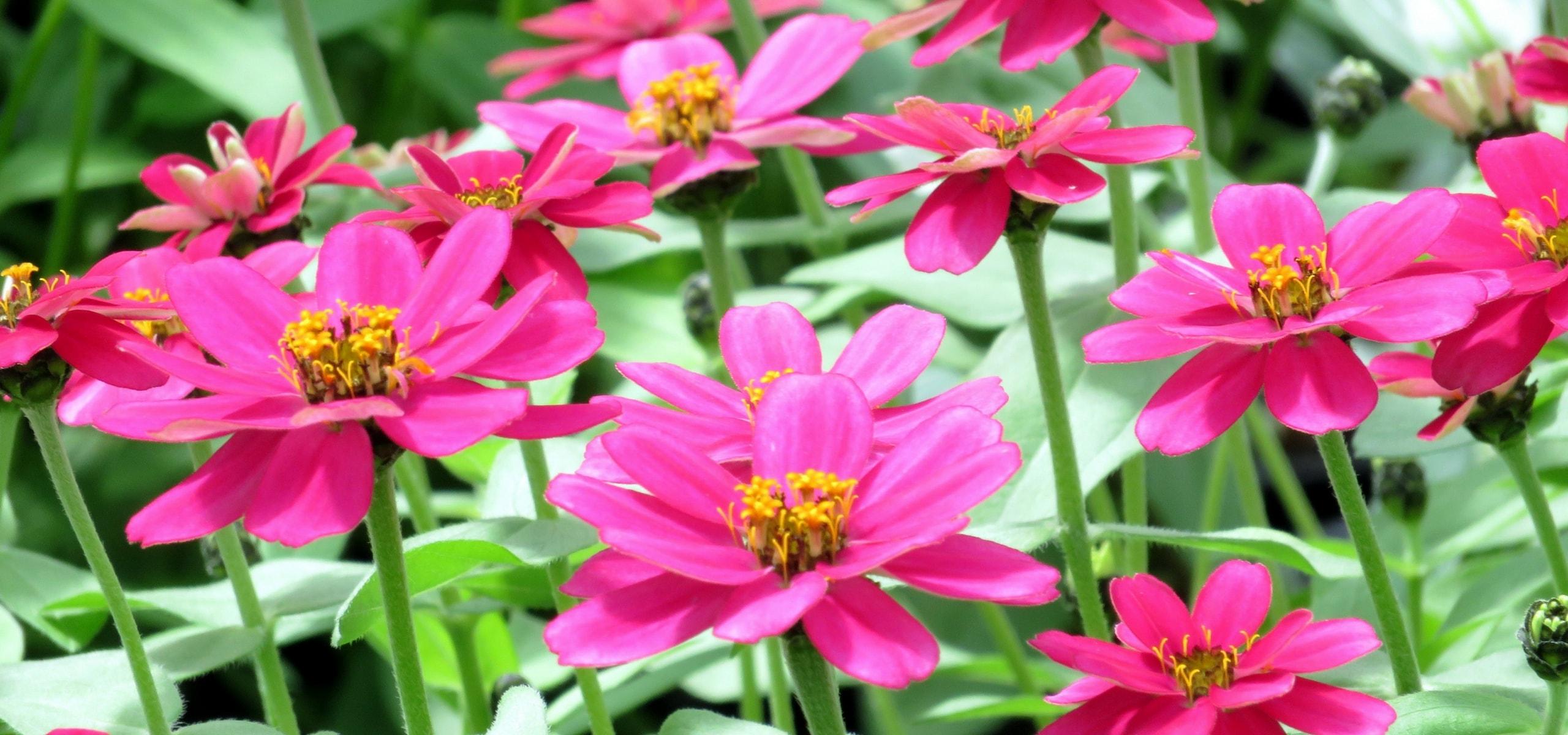plantes annuelles comment les planter et les soigner blog promesse de fleurs. Black Bedroom Furniture Sets. Home Design Ideas