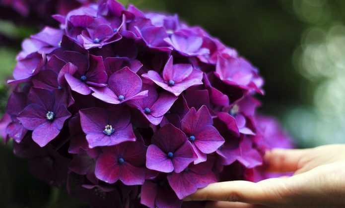 Comment réussir vos Hortensias ou Hydrangeas