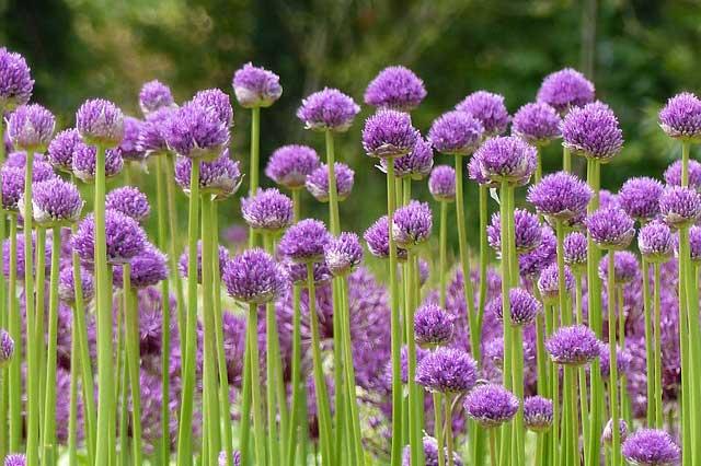 la plantation de l 39 allium ou ail d 39 ornement nos conseils promesse de fleurs. Black Bedroom Furniture Sets. Home Design Ideas