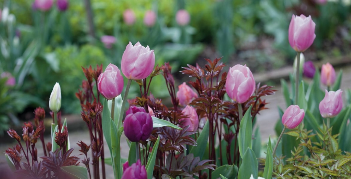 tulipe une fois fanee