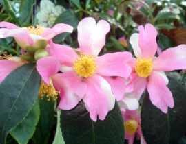Le Camélia sasanqua Yume, un champion de la floraison.