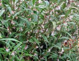 Sarcococca hookeriana, un arbuste bien discret.