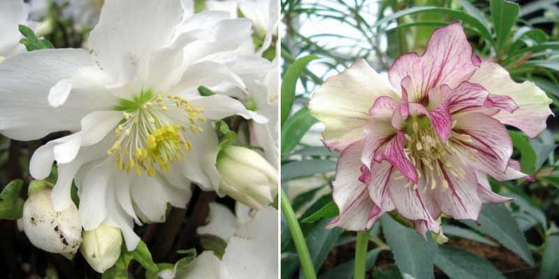 Fleurs d 39 hiver 10 plantes vivace et arbustes floraison for Vivace floraison hivernale