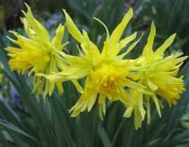 Tempérer les fleurs jaunes au jardin.
