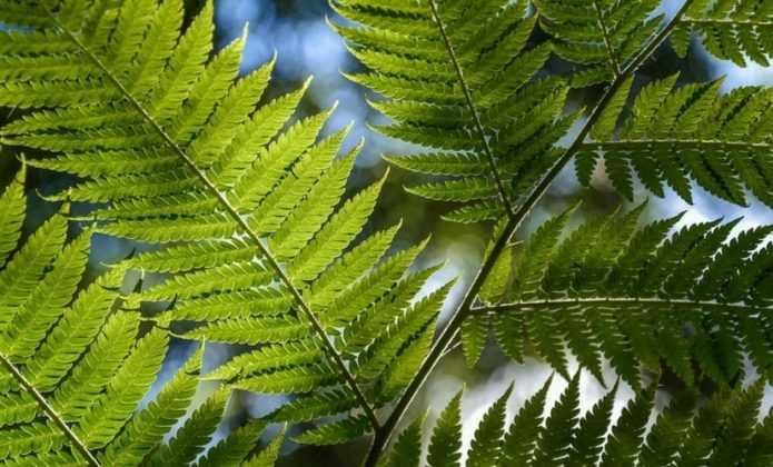 Planter les fougères arborescentes
