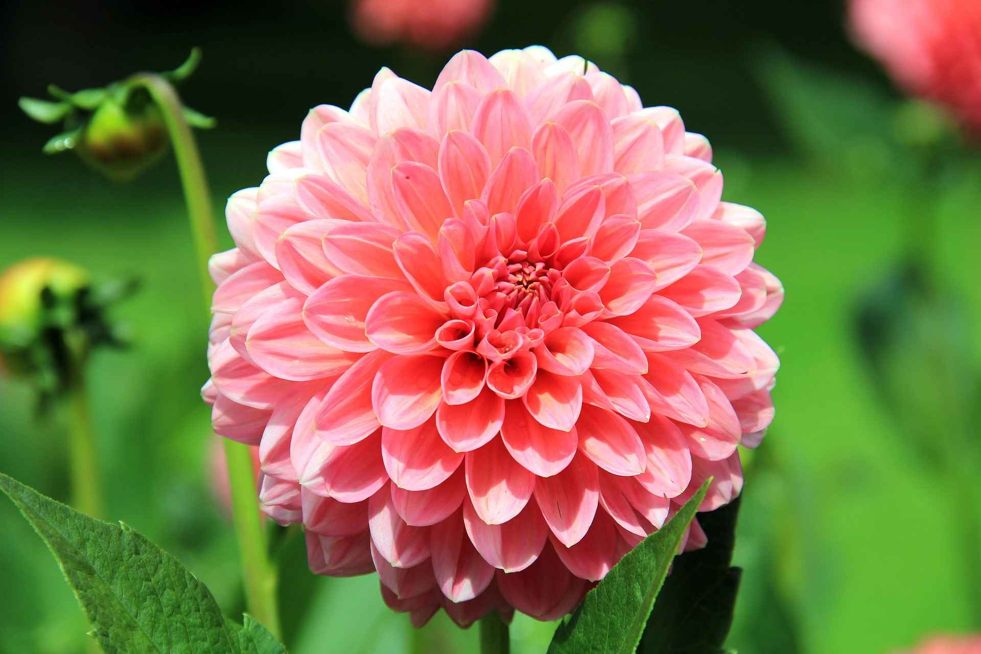 planter les dahlias / blog promesse de fleurs