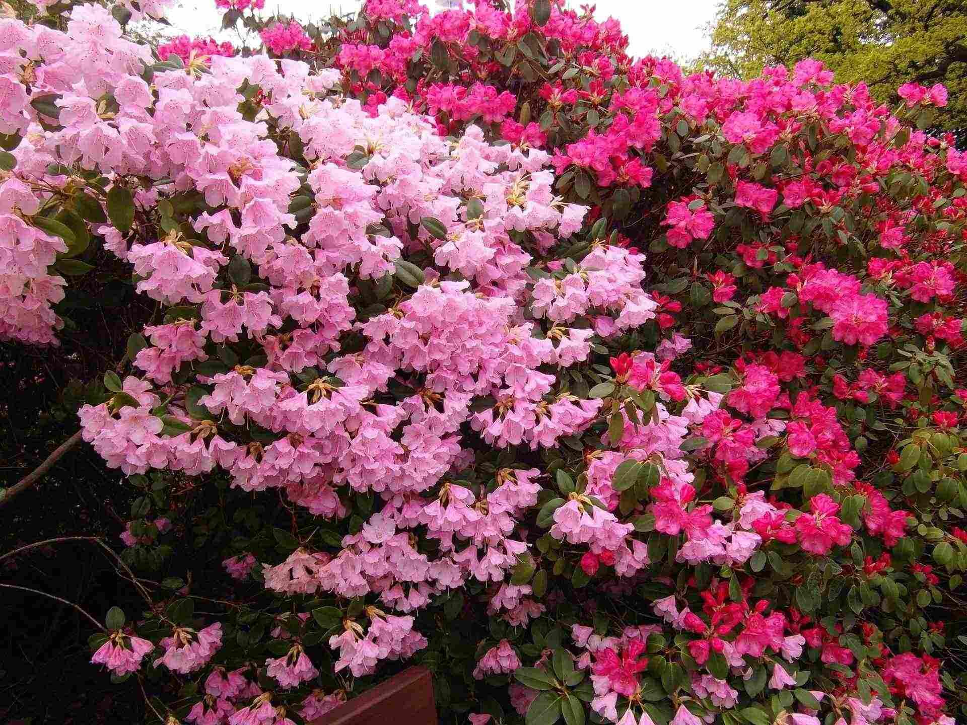 Arbuste Pour Terrain Calcaire planter les arbustes de terre de bruyère - promesse de fleurs