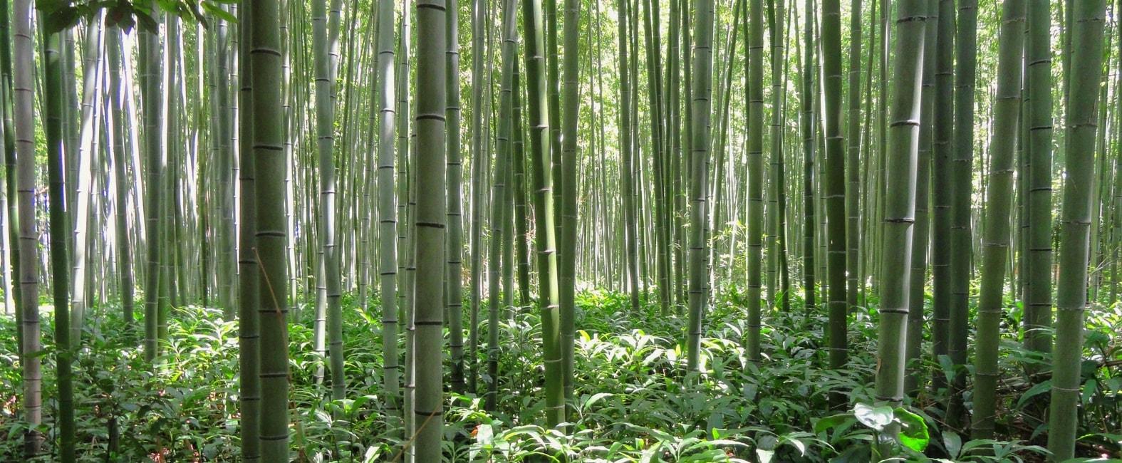 Bambous comment les diviser et les multiplier conseils - Comment se debarrasser definitivement des bambous ...