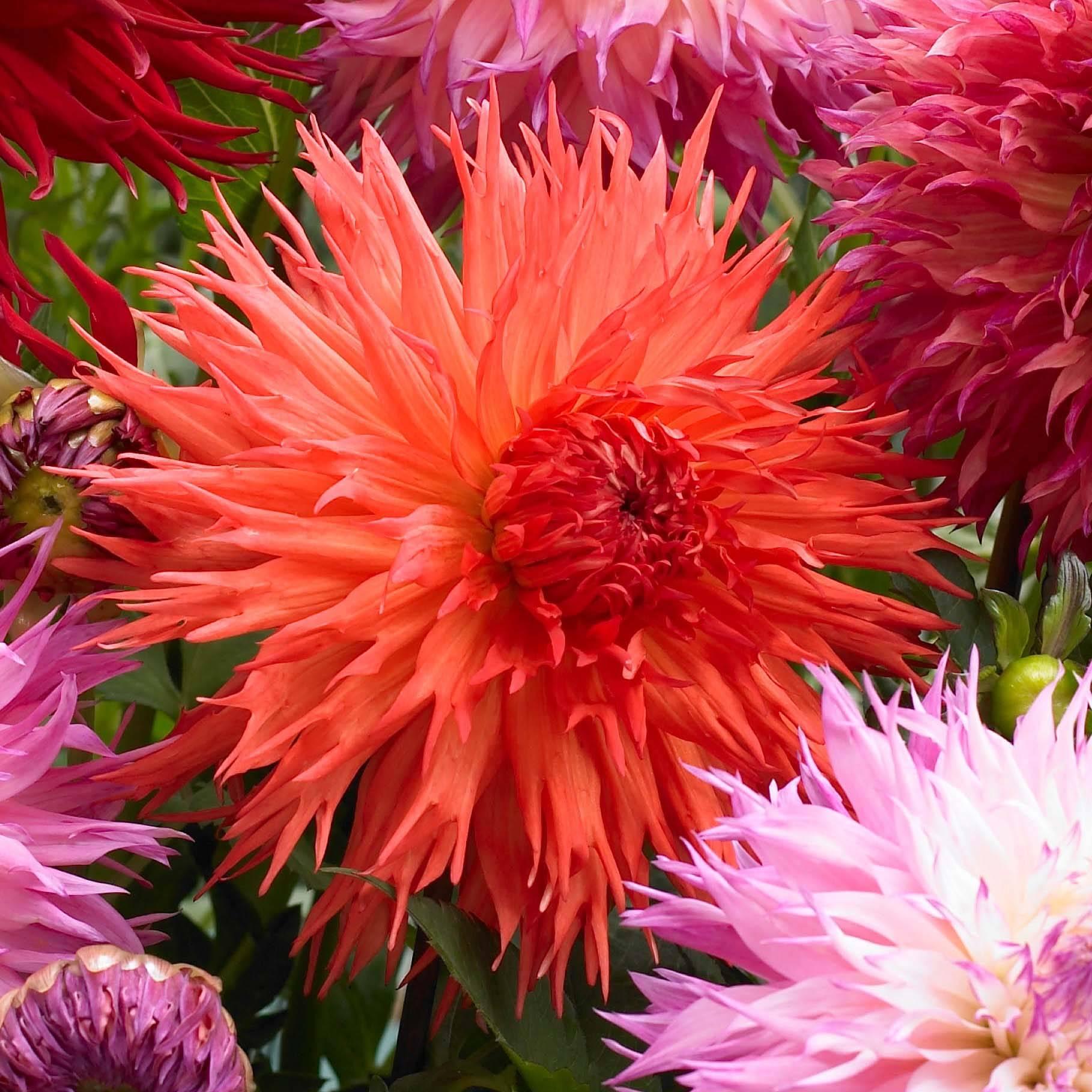Comment Avoir De Beaux Dahlias Promesse De Fleurs