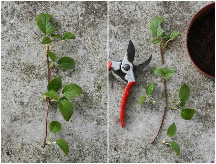Bouturer l 39 hortensia grimpant ou hydrangea petiolaris nos conseils blog promesse de fleurs - Comment bouturer un hortensia ...