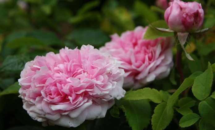 La plantation du rosier o quand et comment conseils - Quand et comment tailler les rosiers ...