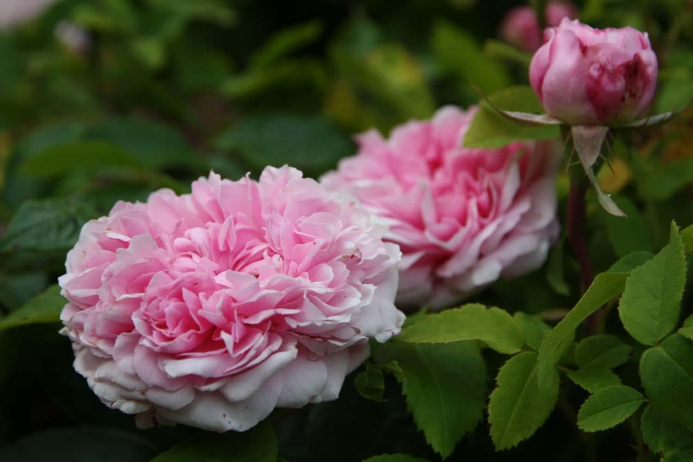 Quand Et Comment Tailler Un Rosier bouture de rosier : quand et comment faire ? nos explications