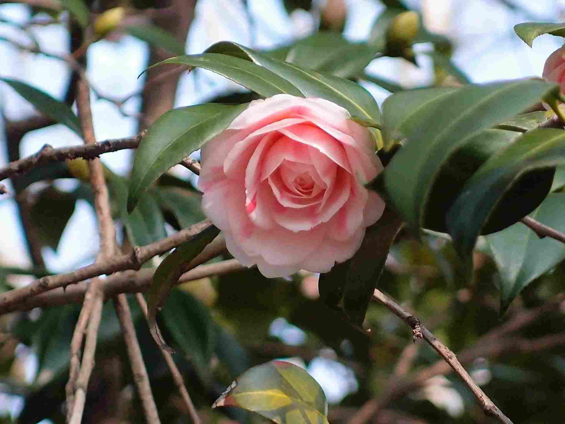 Fleur qui fleurit en hiver - Fleurs qui fleurissent en hiver ...