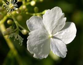 Avoir de belles boutures avec son hortensia hydrangea pétiolaris