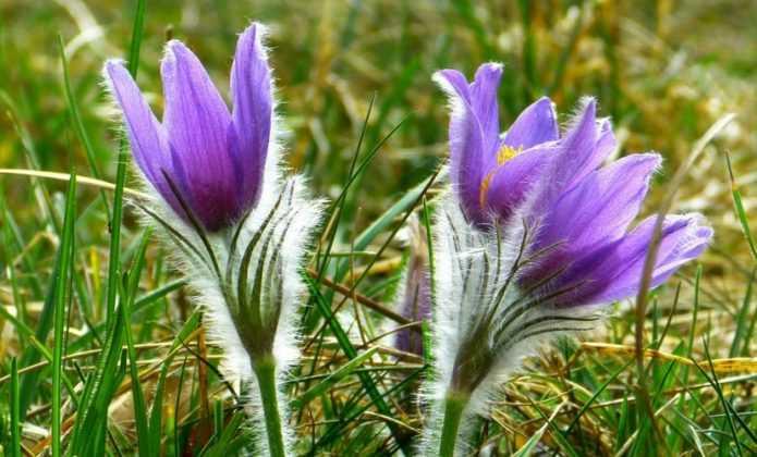 Vivaces à floraison de début de printemps