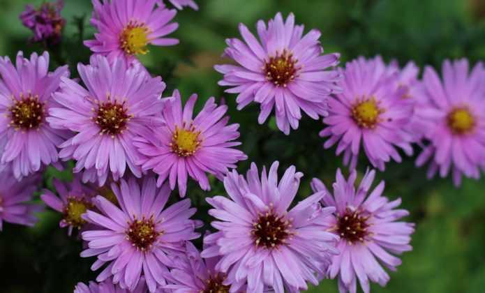 Choisir, planter et soigner les Asters