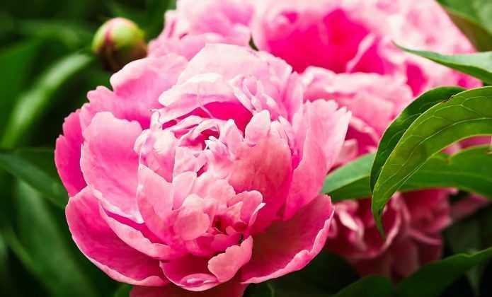 La plantation des pivoines et leur entretien nos for Promesse de fleurs