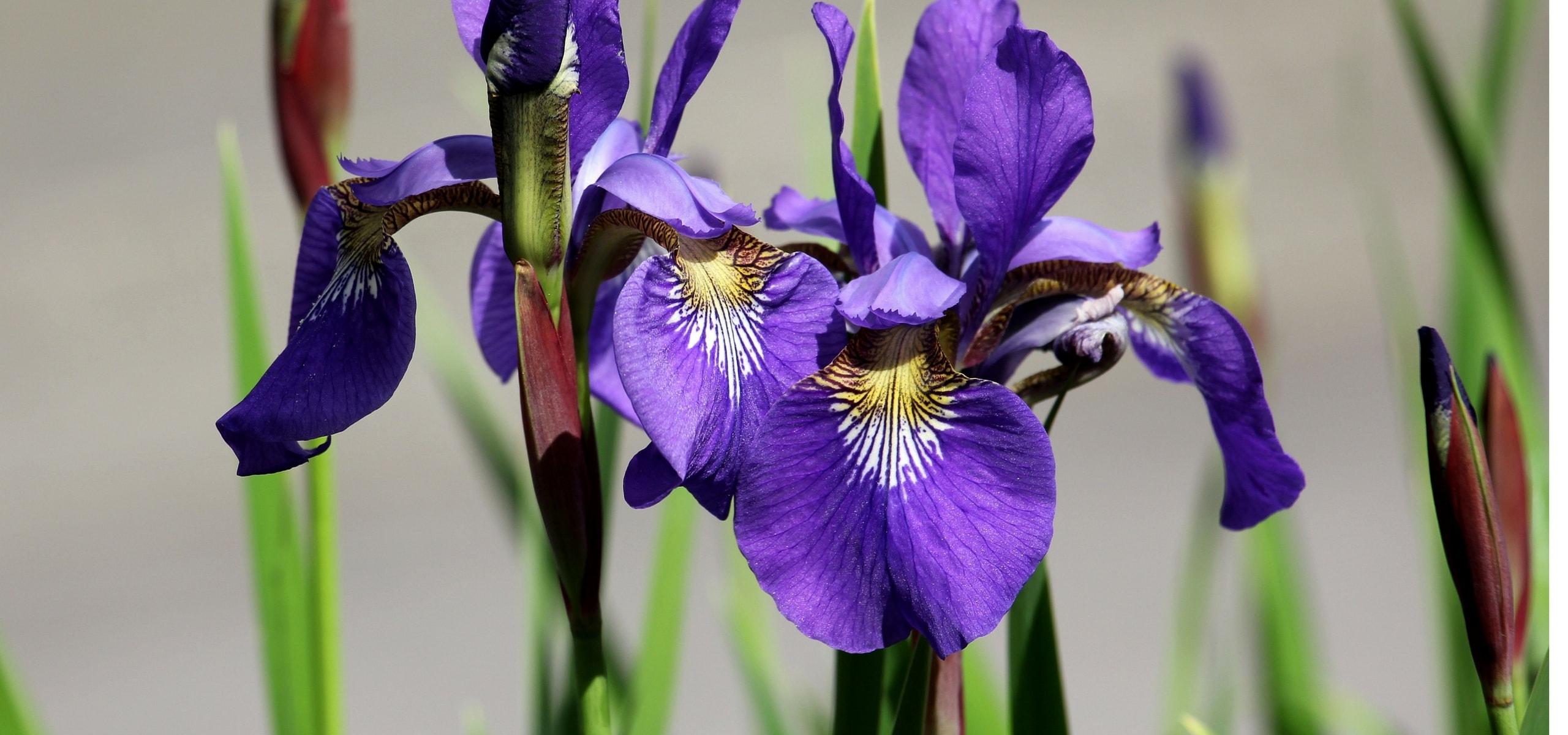 la plantation des iris o quand et comment nos conseils promesse de fleurs. Black Bedroom Furniture Sets. Home Design Ideas
