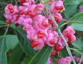 Feuillages et fruits d'automne, les meilleurs arbustes du moment