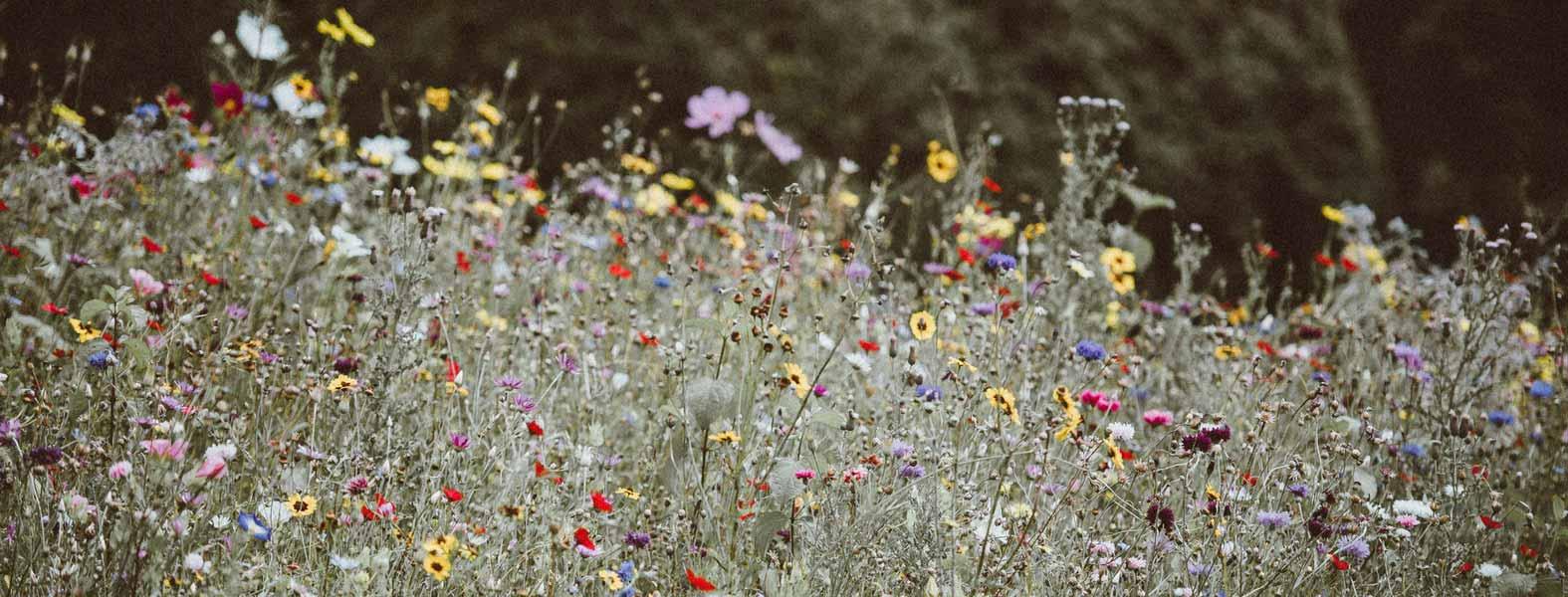 le semis de graines de fleurs annuelles en pleine terre ou en terrine promesse de fleurs. Black Bedroom Furniture Sets. Home Design Ideas