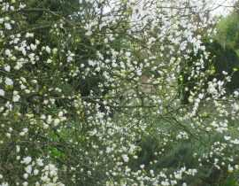 Poncirus trifoliata, un agrume d'ornement qui manque pas de piquant.