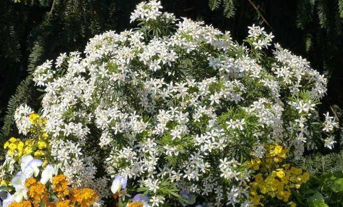 oranger du mexique choisya ternata planter tailler entretenir promesse de fleurs. Black Bedroom Furniture Sets. Home Design Ideas