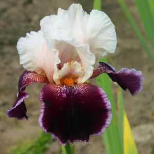 Les iris germanica c 39 est en t qu 39 il faut les planter - Iris ne fleurissent pas ...