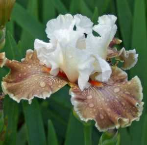 Iris germanica Coffe Whisper