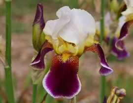 Les Iris germanica, c'est en été qu'il faut les planter
