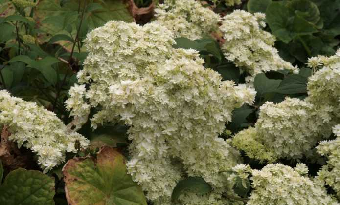 Hortensia arborescens, à l'épreuve de la chaleur!